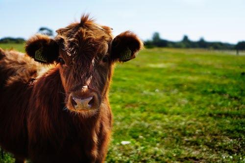 Raw Milk | Westtown Amish Market